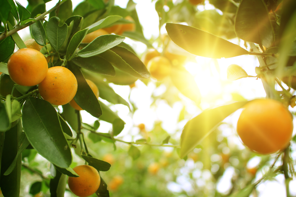 Oranges on a tree with sunburst in the background