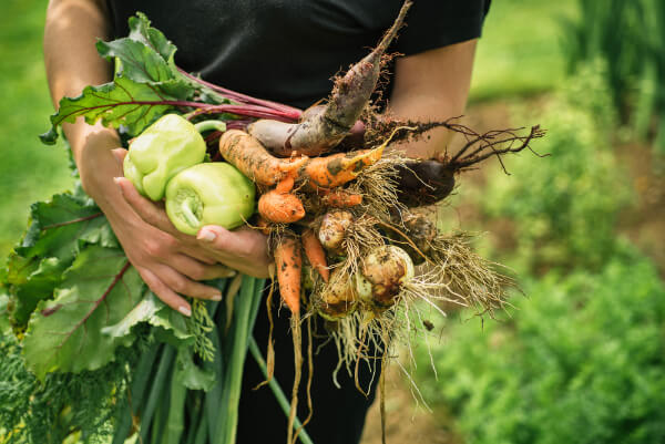farmer carrying organic food in hands such as peppers, rhubarb, carrots and beets.