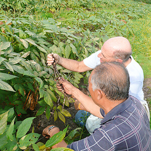 jerry checking gingseng